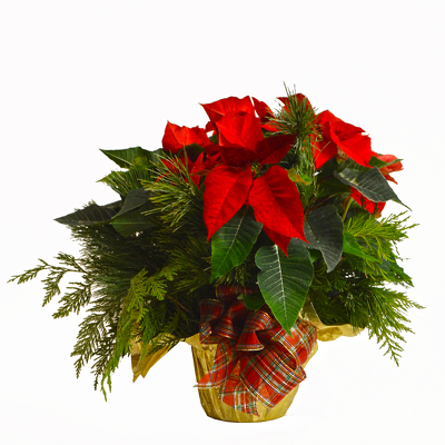Holiday Poinsettia from Casey's Garden Shop & Florist, Bloomington Flower Shop