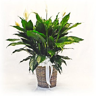 Peace Lily from Casey's Garden Shop & Florist, Bloomington Flower Shop