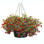 Hanging Basket : Annual Flowers